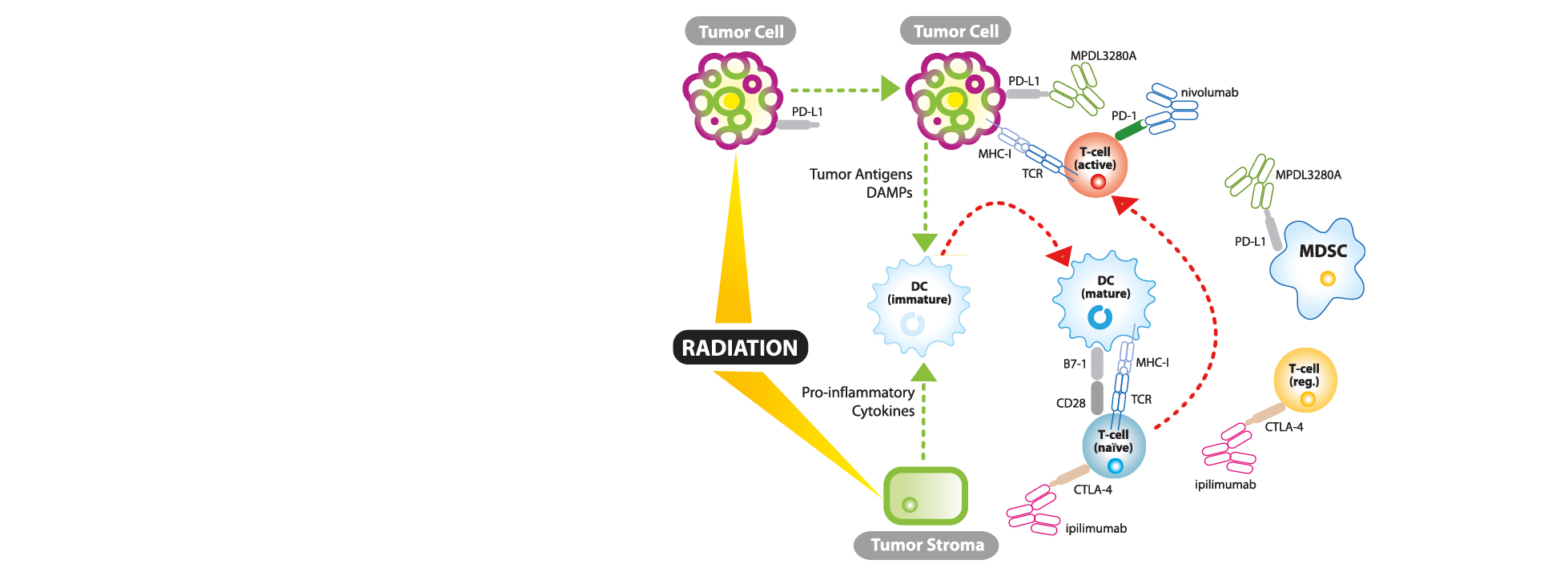 The synergistic relationship between immunotherapy and radiation.